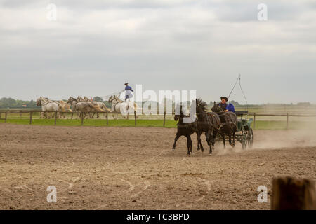 Kalocsa, Puszta, Hungary - May 23, 2019 :  Csikos Hungarian equestrains performing stunts in corral. - Stock Photo