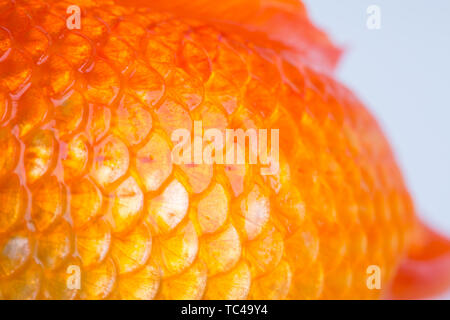 Fish scales of goldfish, close-up Stock Photo: 248424320 - Alamy