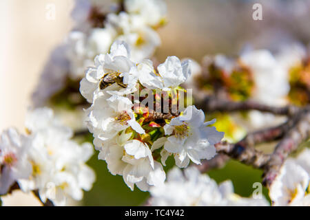 Closeup of a bee pollinating a cherry flower - Stock Photo