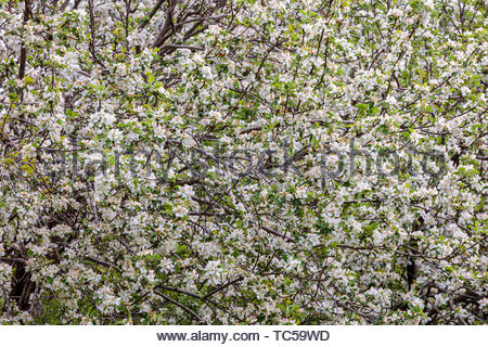 Apple blossoms cover apple tree in spring in Ontario Canada - Stock Photo