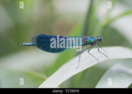 Male Banded Demoiselle, Calopteryx splendens. Showy metallic blue damselfly that inhabits slow moving rivers, streams. Females are metallic green. ca - Stock Photo
