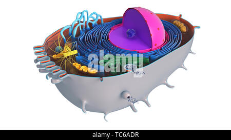 Animal cell in section, multi-colored science biology. 3D rendering - Stock Photo