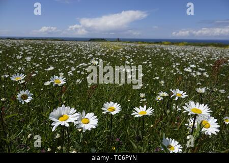 Gower, Swansea, Wales, UK. 6th June 2019. Weather: Dog daisies lap up the sunshine at National Trust Rhosili (correct,1's') on the Gower peninsula, south Wales. An ancient strip farming area known as The Vile is planted with fields of flowers to encourage bees and enhance the biodiversity. The forecast is for wetter weather  tomorrow.  Credit: Gareth Llewelyn/Alamy Live News - Stock Photo