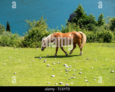 Image of a brown horse on a meadow eating grass - Stock Photo