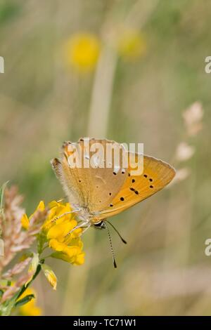 Scarce Copper, Lycaena virgaureae, a showy copper butterfly with white markings on the back underwing, The upperwings can be fiery copper in - Stock Photo