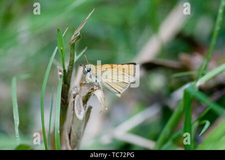 Essex Skipper, Thymelicus lineola. Small orange skipper that is distinguished by black undertips of the antennae. Wingspread: 26 - 30mm. European - Stock Photo