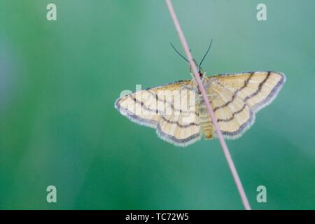Golden-yellow Wave, Idaea aureolaria. Medium Geometrid moth iwht distinct brown bars. Wingspan: 16-20mm. Flies June-July with second generation - Stock Photo