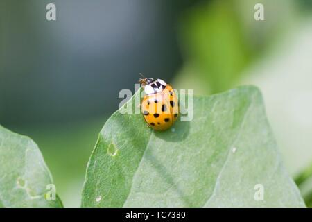 Harlequin Ladybird, Harmonia axyridis, large ladybird which have multiple colora variations with dots 0-22. Most common form is red or orange with 14 - Stock Photo