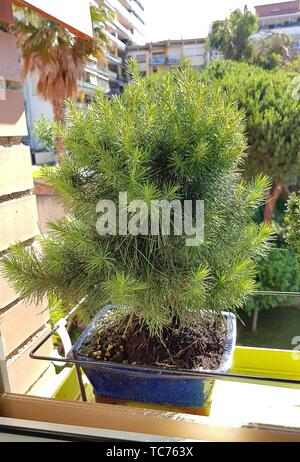 Pinus halepensis (Aleppo Pine). The Aleppo Pine is native to the Mediterranean region, growing from sea level to about 200 meter. It is closely - Stock Photo