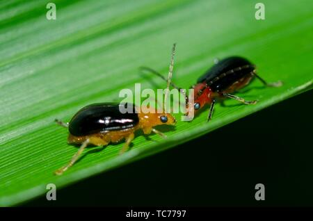 Pair of Leaf Beetles (Chrysomelidae Family) on leaf, Klungkung, Bali, Indonesia. - Stock Photo