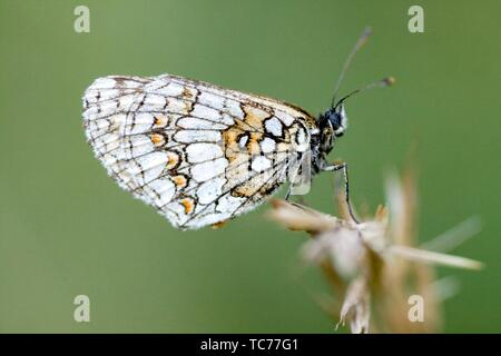 Heath Fritillary, Melitaea athalia. Medium orange and black latticed butterfly that is found in woodland clearings in lmestone and nutrient poor - Stock Photo
