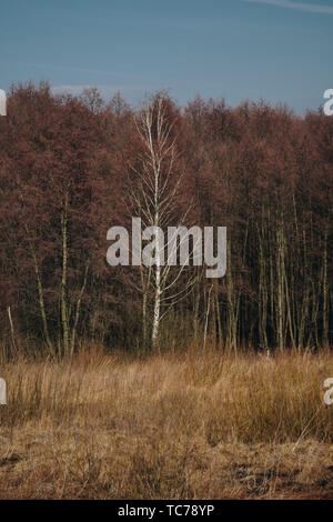 landscape with phragmites growing in front of forest during sunny day at the end of winter season - Stock Photo