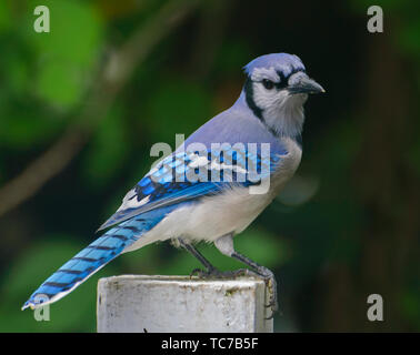 Blue Jay perched on a post, shot in Southeastern Pennsylvania, USA - Stock Photo