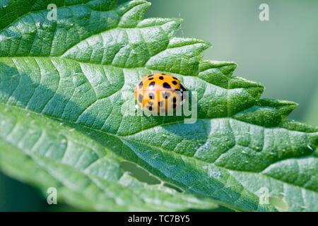 Harlequin Ladybird pupae, Harmonia axyridis, large ladybird which have multiple colora variations with dots 0-22. Most common form is red or orange - Stock Photo