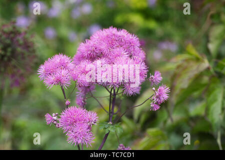 Thalictrum aquilegiifolium flowers in a cottage garden. - Stock Photo