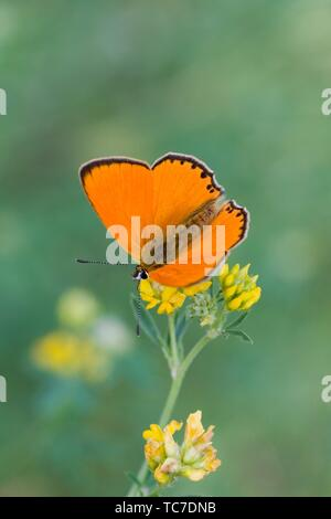 Scarce Copper, Lycaena virgaureae on Trifolim patens. Showy copper butterfly with white markings on the back underwing, The upperwings can be fiery - Stock Photo