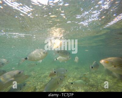 Underwater Las Rotas beach San Antonio cape in Denia Alicante Province Spain. Diplodus annularis and oblada melanura. - Stock Photo