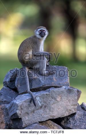 Vervet monkey sitting on stones in Great Rift Valley, Kenya. - Stock Photo