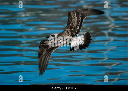 Juvenile Cape gull (Larus dominicanus vetula) searching for fish scraps, South Africa. - Stock Photo
