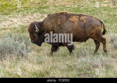 A large bison walks along in the northern part of Yellowstone in Wyoming. - Stock Photo