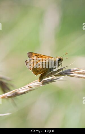 Lulworth Skipper, Thymelicus acteon. Small orange skipper that may be confused with the Large Skipper, Ochlodes sylvanus. Lulworth antennae tips are - Stock Photo