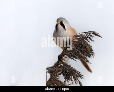 Bearded Reedling Panurus biarmicus. - Stock Photo