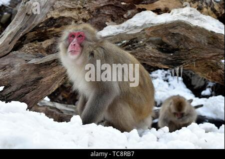Snow monkey in Jigokudani National Park, Nagano, Japan, Asia. - Stock Photo