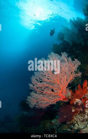 Sea fans with sun in background, Andiamo dive site, Dara Island, Misool, Raja Ampat, Indonesia. - Stock Photo