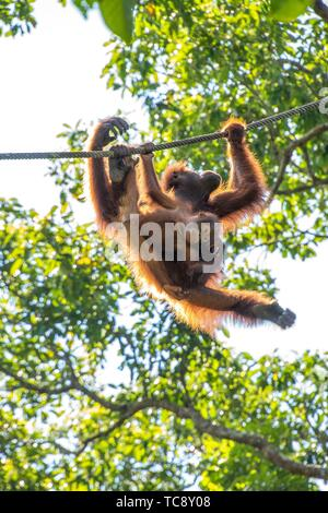A Mother and Baby Orangutan ( Pongo pygmaeus ) Hanging on a Rope in Semengoh Rehabilitation Center, Kuching, Sarawak, Borneo, Malaysia. - Stock Photo