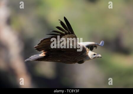 Gryffon vulture (Gyps fulvus) flying in the national park Monfragüe. Cáceres. Spain. - Stock Photo