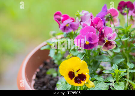 colorful flowers blooming in the garden.white yellow and violet pansy flowers. Mixed pansies on flowerbed. beautiful purple yellow heartsease.Copy - Stock Photo