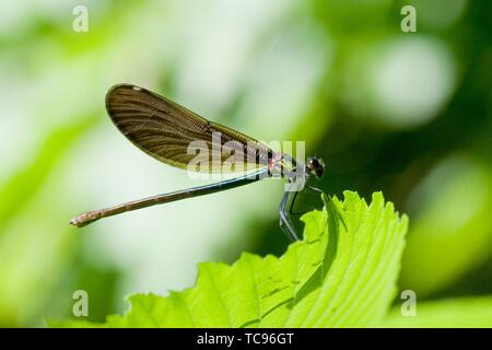 Female Beautiful Demoiselle, Calopteryx virgo. Adults: 49-54mm length. males are metallic blue and females emerald green. Wings are coppery gold to - Stock Photo