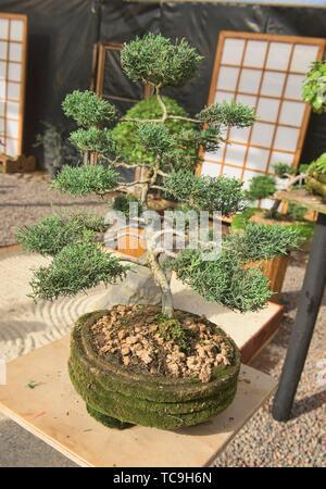 Bonsai tree in the Jardin de Corazon Japanese garden, La Serena, Chile.