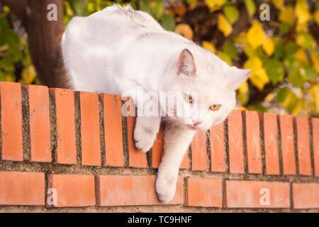Gato blanco en lo alto de un muro. Madrid. España. - Stock Photo