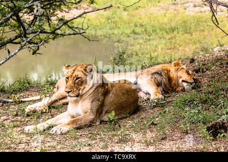 Two female lions resting near a pond at Kruger National Park. - Stock Photo