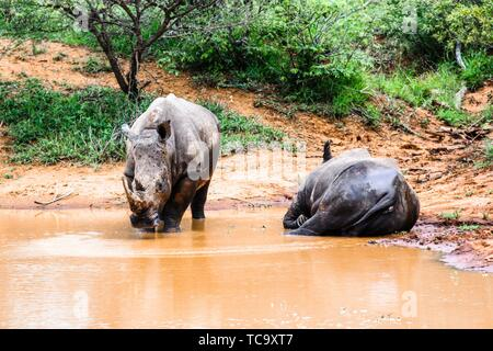 Two southern white rhinoceros lazing in the water Kruger National Park. - Stock Photo