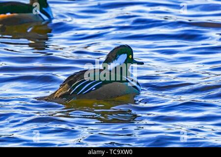 Golden Eye Duck Male Swimming Refletion Juanita Bay Park Kirklande Washiington. - Stock Photo