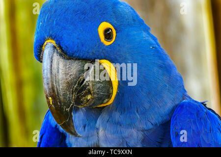 Blue Yellow Feathers Blue Hyacinth Macaw Parrot Anodorhynchus hyacinthinus genus species. - Stock Photo