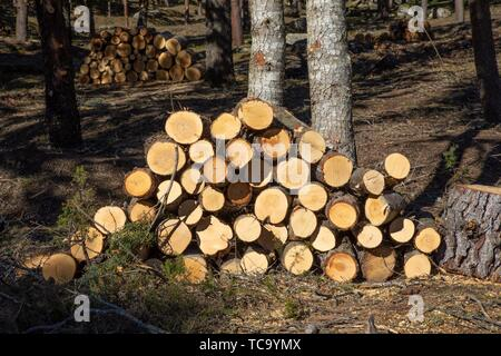 piles of wooden logs, stacked in a forest next to trunk of trees. - Stock Photo