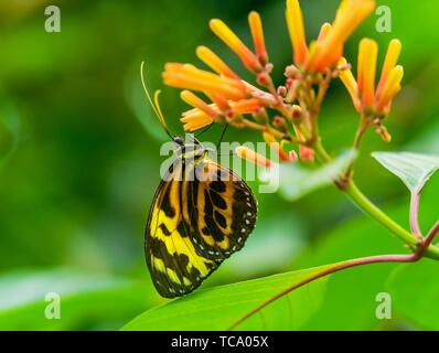 Large Yellow Orange Tiger Monarch Butterfly, Lycorea Cleobaea, sitting on green leaf with wings folded Macro. - Stock Photo