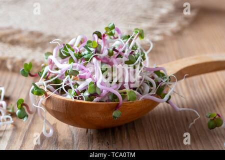 Fresh pink radish sprouts on a wooden spoon. - Stock Photo