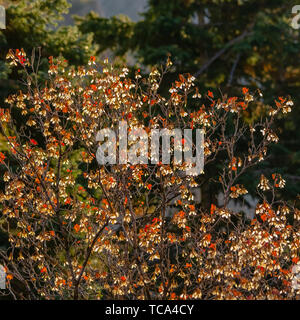 Frame Square Close up of a tree with orange leaves illuminated by sunlight on a sunny day - Stock Photo