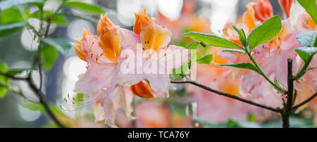 Red rhododendron Nova Zembla, lush bloom in the nursery of rhododenrons. - Stock Photo