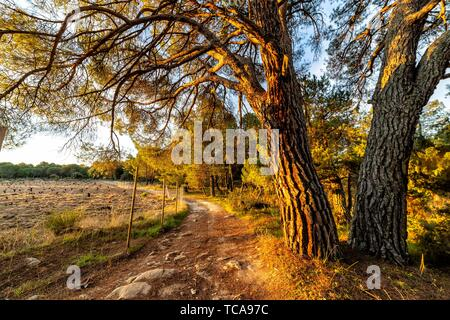 Path to Piquillo pinewood in Cadalso de los Vidrios, early in the morning. Madrid. Spain. Europe. - Stock Photo