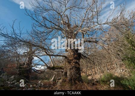 Centenarian chestnut trees and oak forest, Castañar de Ibor, province of Cáceres, Extremadura, Spain - Stock Photo