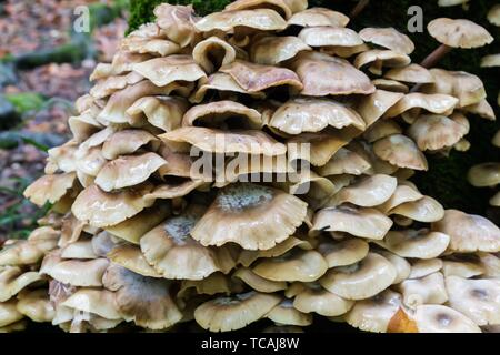 A lot of Wild mushroom on mossy trunk in the forest. - Stock Photo