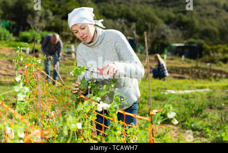 Beautiful young woman working with green bush using horticultural tools on sunny day - Stock Photo