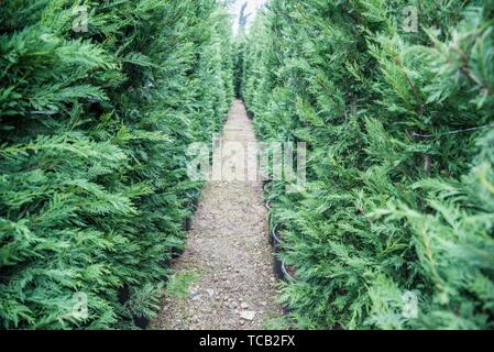 Many Green Hedge of Thuja Trees, or Green hedge of the Tui trees in plastic box for sale. - Stock Photo