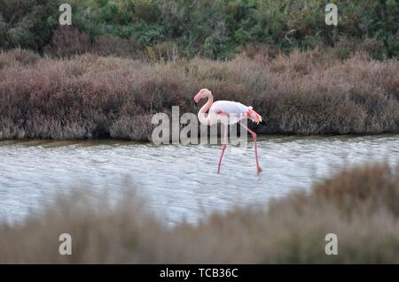 Greater Flamingos (Phoenicopterus roseus), Regional Natural Park of the Camargue, France. - Stock Photo