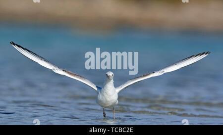 Slender-billed Gull (Chroicocephalus genei), Crete - Stock Photo